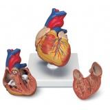 Coração e circulação